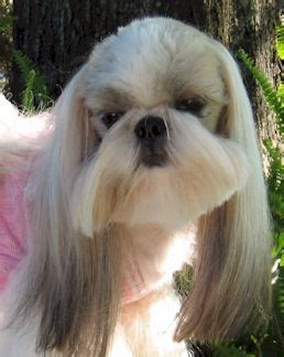 shih tzu hair styles  male  shih tzu hair styles
