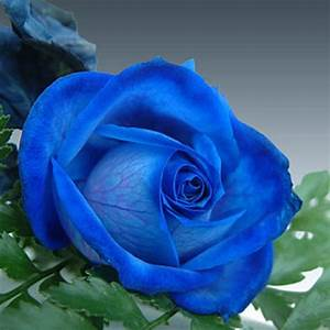 China Rare Dark Blue Rose Flower Blue Climbing Roses Seeds ...