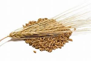 The Beauty Of Good Health  Barley  More Than John Barleycorn