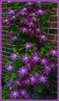Clematis Vines Plant