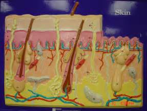 Integumentary Skin Model Labeled