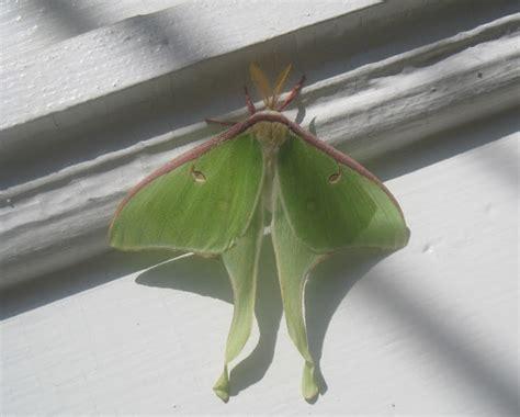 maynard life outdoors and hidden history of maynard luna moth photos symbolism and a poem