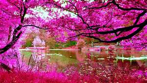 Cherry Blossoms Spring Pink Cherry Tree River Nature Hd