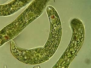 File Euglena Sp  Jpg