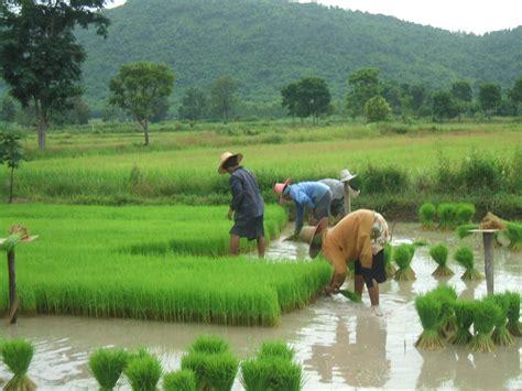 ชมรมเกษตรธรรมชาติและสิ่งแวดล้อมเพื่อคุณภาพชีวิต: ภาพกิจกรรมการทำนาข้าวอินทรีย์ชีวภาพด้วย ...