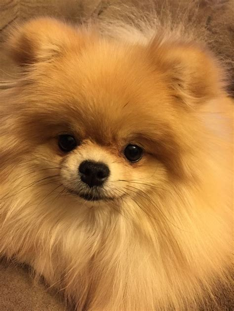 42 best images about pom cut on chihuahuas