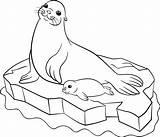 Seal Coloring Harp Circus Pages Getdrawings Printable Getcolorings sketch template