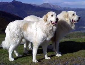 Perro de montaña de los Pirineos Fotos Tu amigo el perro