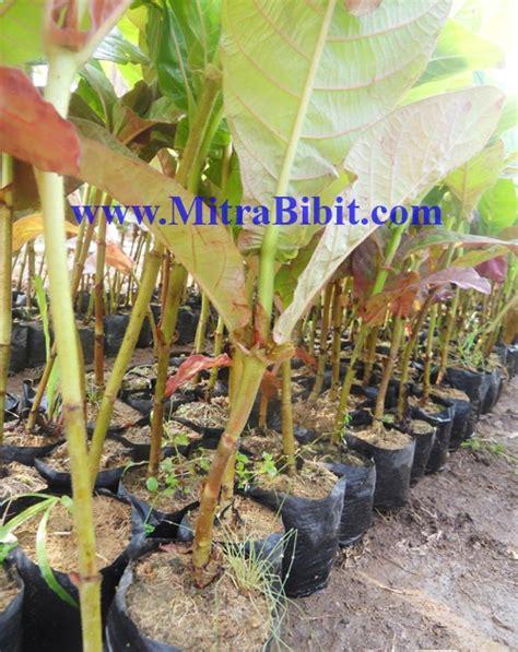 Ciri Ciri Curriculum Vitae by Cv Mitra Bibit Ciri Ciri Pohon Jabon Merah Atau Samama