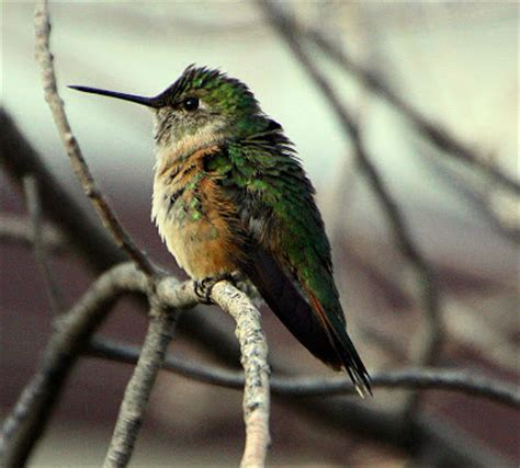 northern illinois birder southwest hummingbirds part 3