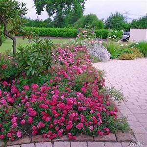 Bodendecker Blühend Winterhart Sonnig : bodendeckerrose 39 knirps 39 adr rose rosa 39 knirps 39 bodendeckerrosen garten schl ter ~ Frokenaadalensverden.com Haus und Dekorationen