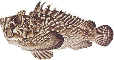 stonefish fish synancejidae family encyclopedia