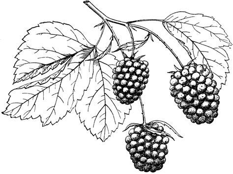 raspberry bush clipart black and white bartel dewberry clipart etc