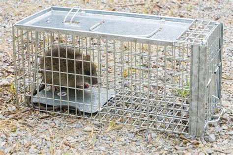 Rattenbekämpfung Im Garten » So Werden Sie Sie Los