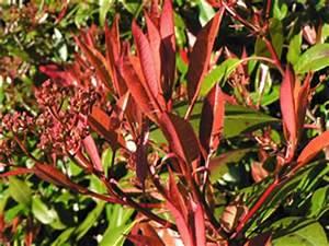 Schnell Wachsender Busch : beliebte schnellwachsende hecken pflanzen ~ Lizthompson.info Haus und Dekorationen
