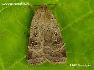 Lesser Yellow Underwing Moth And Caterpillar  Noctua Comes