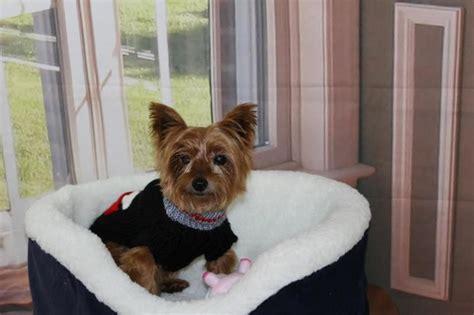 adopt berkeley  yorkshire terrier yorkie yorkshire terrier puppies