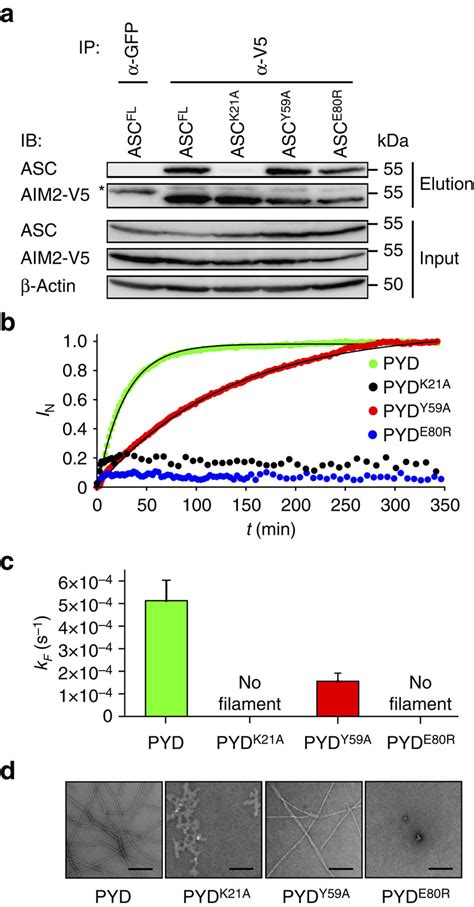 asc filament interaction formation receptor uncoupled aim2 genetically blot western publication exponential