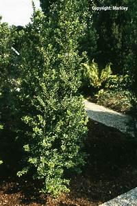 Berg Des Garten : s ulen berg ilex 39 green hedge 39 garten punzmann gmbh menzlhof ~ Indierocktalk.com Haus und Dekorationen
