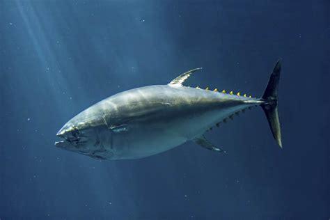 tuna fish porcupinefish facts
