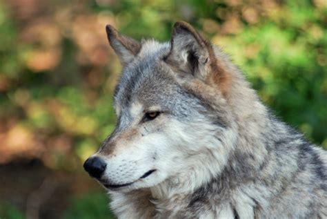 grey wolf in the smoky mountains smoky mountain