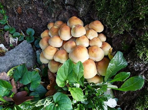 Parasol Pilze Im Garten by Pilze Pilze Pilze