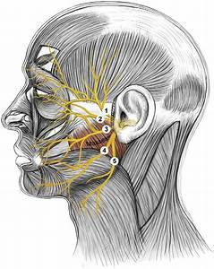 Terminal Branches Of The Facial Nerve On The Face   1