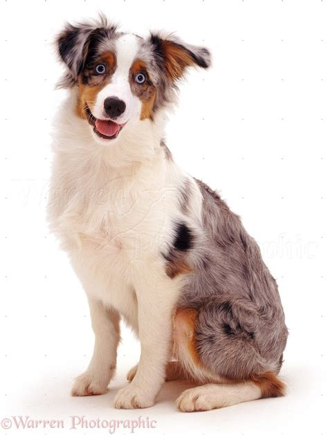 australian shepherd dog quotes quotesgram