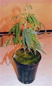Schimmel In Pflanzen : 10 dinge bei denen hanf damen zicken hanfjournal ~ Bigdaddyawards.com Haus und Dekorationen