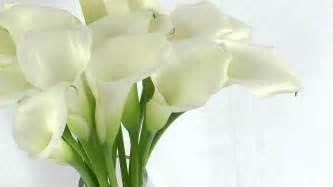 cut flowers white mini calla lilies fresh cut calla flowers