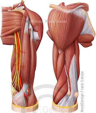 oberarm hinten muskel muskeln muskulatur bewegungsapparat oberarm brachium anatomie oberarmmuskeln bizeps