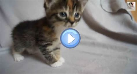 video du chaton qui pleurniche car sa maman nest pas la