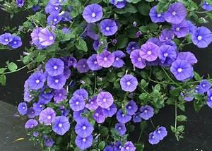 "Blue Convolvulus 6"" Pot - Hello Hello Plants & Garden Supplies  Blue"