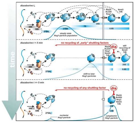 Biogenesis describes the principle that living things only arise from other living things by reproduction (not spontaneous generation). Diazaborine treatment allows tracing the ribosome ...