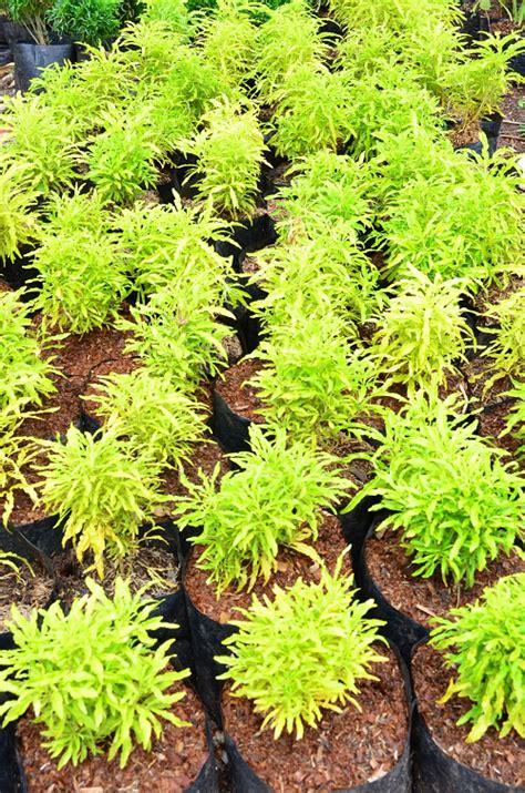 mengenal brokoli hias daun kuning