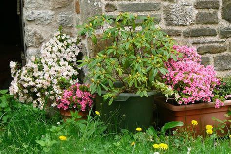 rhododendron en pot entretien azal 233 e japonaise conseils de culture de taille et d entretien