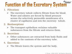 What Are The 4 Functions Of The Excretory System