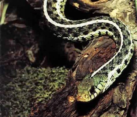 serpent aquarium eau douce les amis de l aquarium 1932