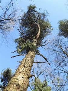 Unterschied Pinie Kiefer : herken de boomsoort nl tranenden latin pinus wallichiana uk himalayan pine ge wallich ~ Orissabook.com Haus und Dekorationen
