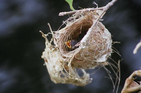 pictures of bird nests 1000 images about nest project on pinterest nests bird nests and montezuma