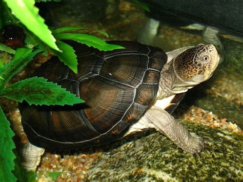 sideneck turtle african hinge sideneck turtle for sale reptiles for sale