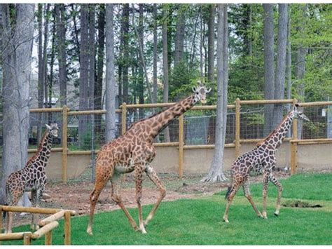 Turtle Back Zoo Opens $7m Giraffe Exhibit In Essex County
