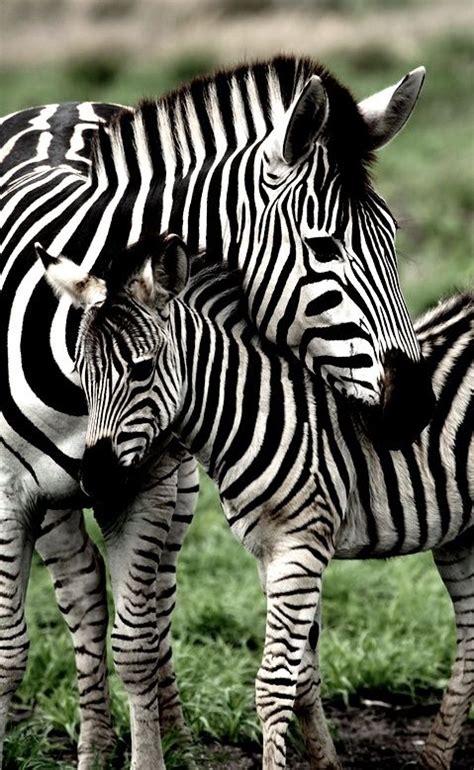 zebras    stripes     zebras
