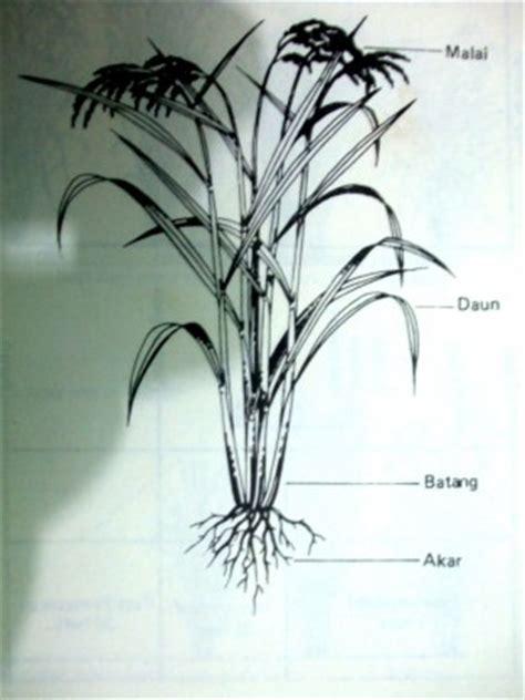 morfologi tanaman padi  sebuah tulisan