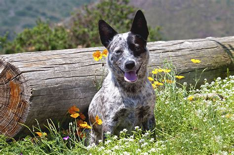 australian cattle dog breed pictures  information