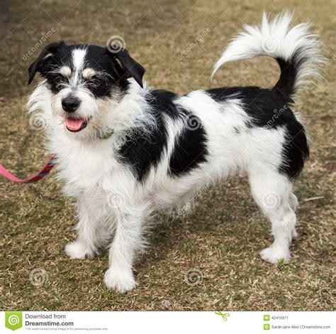 long haired black  white jack russell terrier dog stock