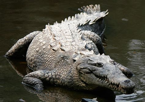 what color are crocodiles crocodiles galore find these awesome creatures en route
