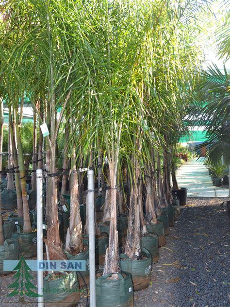 tropical  palm trees din san nurseries product ods