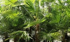 Palmen Kaufen Baumarkt : palmen pflanzen pflanzen kaufen ~ Orissabook.com Haus und Dekorationen