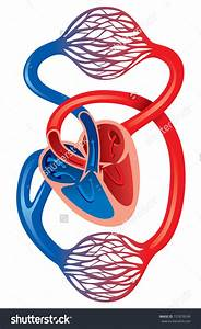Human Cardiovascular System Clipart 20 Free Cliparts